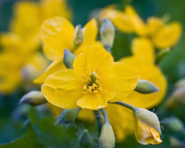 Vérehulló fecskefű (Chelidonium majus) sárga virága.