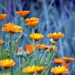 Amit a körömvirágról eddig nem tudtunk