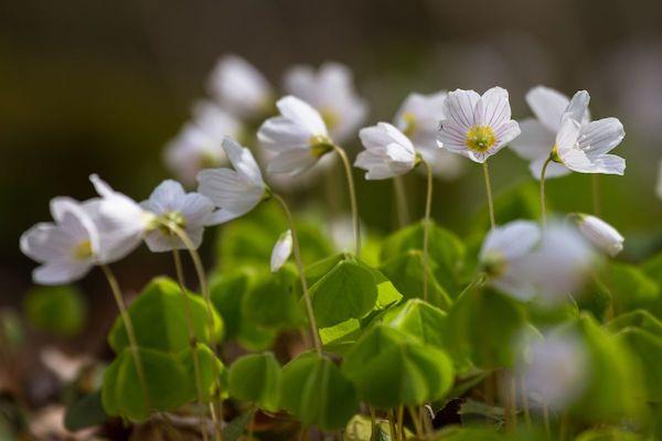 Erdei madársóska (Oxalis acetosella) virágai.