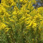 Kanadai aranyvessző jellemzői és a hazánkban is fellelhető aranyvessző gyógyhatásai