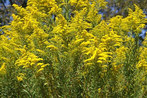 Kanadai aranyvessző (Solidago canadensis) sárga virágai.