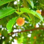 A kínafakéreg jelentősége a homeopátiában