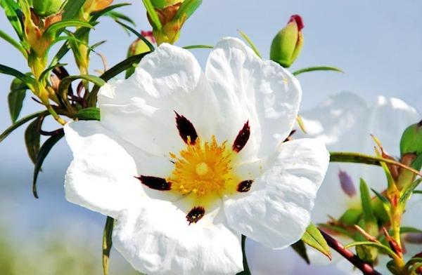 Balzsamos szuhar (Cistus ladanifer) gyönyörű ötszirmú virága.