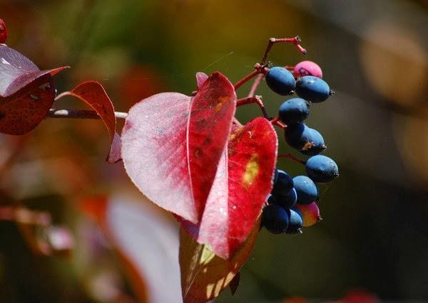 Szilvalevelű bangita(Viburnum prunifolium) fájának termése és színes levele.
