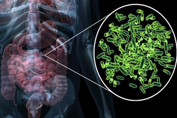 Emberi bélrendszer, mellette kiemelve a hasznos baktériumok.