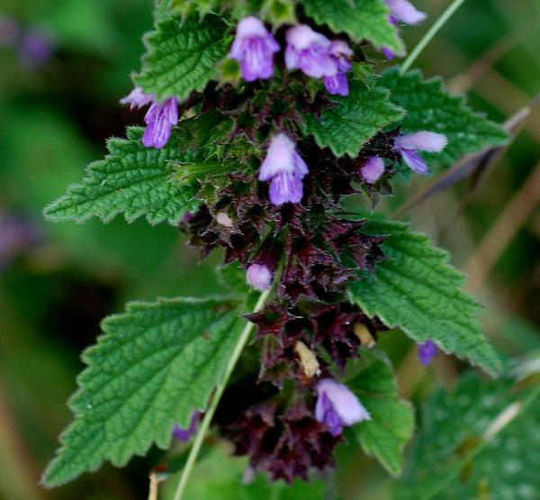 Fekete peszterce (Ballota nigra) virága és levele.