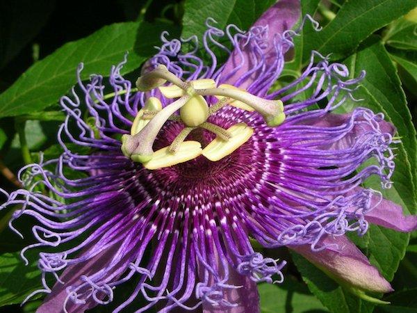 A csodaszép golgotavirág (Passiflora incarnata) közeli fotója.