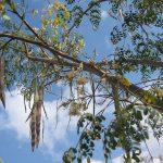 Lóretekfa, amelynek sok csodás gyógyulás köszönhető