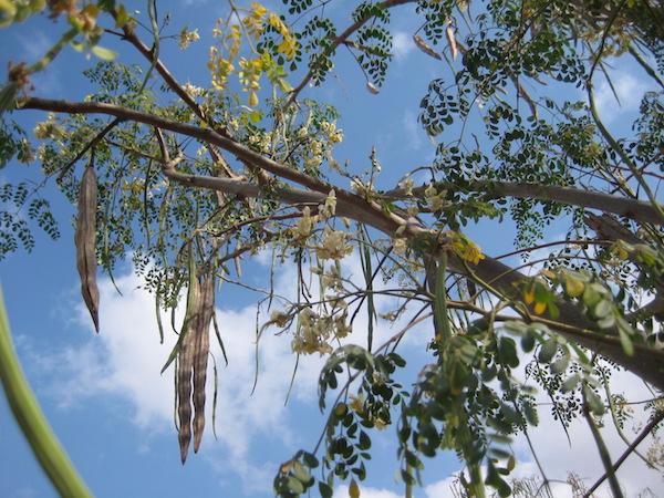 Lóretekfa (Moringa oleifera) termése.