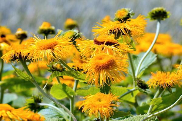 Örvénygyökér napsárga virágai.