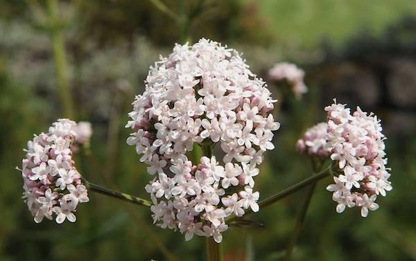 Macskagyökér (Valeriana) pasztelles virága.