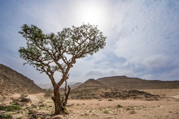 Fenyőtömjén (Boswellia serrata) fája a sivatagban.