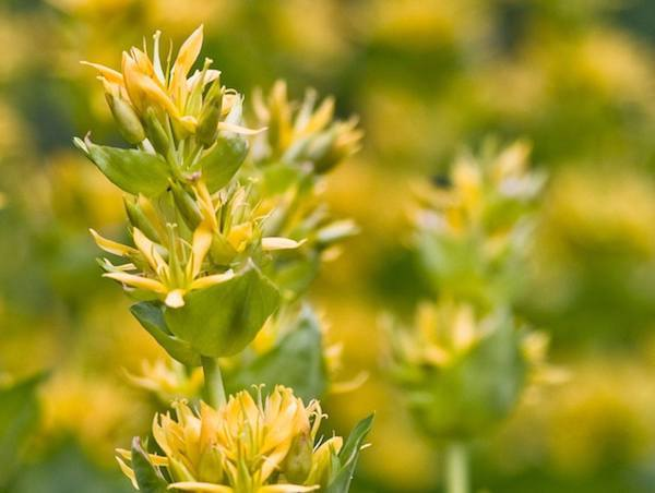 Sárga tárnics virága (Gentiana lutea).