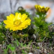 Tavaszi hérics, amely Adoniszról kapta a nevét