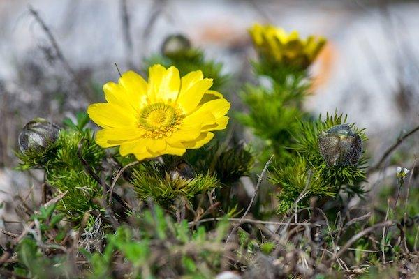 Tavaszi hérics sárg virága.