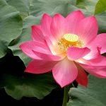 Indiai lótusz mint az újjászületés szimbóluma