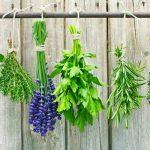 Moly-, szúnyog- és légyriasztó gyógynövények