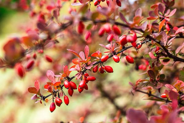 Borbolyabokor a csudaszép termésekkel és a bordó leveleivel.