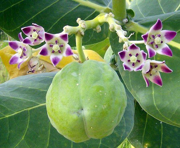 Calotropis procera, azaz szodomai alma.