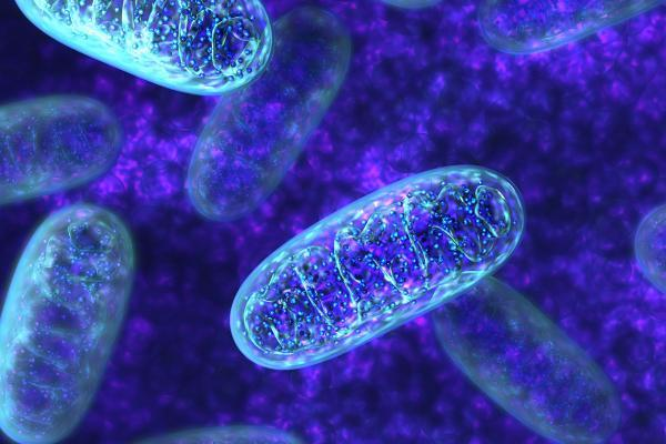 Mitokondriumok felnagyítva.