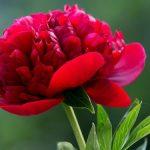 A szépítő gyógynövény: piros bazsarózsa