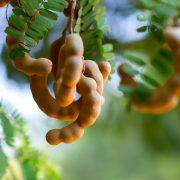 A tamarind csökkenti a krónikus betegségek kockázatát