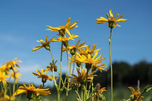 Árnika sárga virágai.