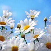 Egy kis virág csodálatos gyógyító tulajdonságokkal: százszorszép