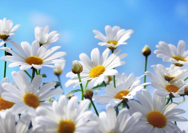 Százszorszép csodaszép virágai a napfényben.
