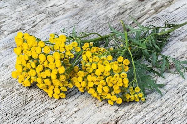 Gilisztaűző varádics sárga virágai.