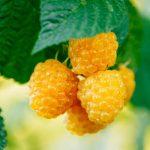 Sárga málna: nem olyan finom, mint a piros, de vitaminokban gazdag