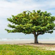A hatóanyagokban gazdag indiai mandulafa