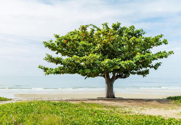 Tengerparton álló indiai mandulafa, más néven emeletfa.