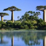 Baobabfa, más néven majomkenyérfa