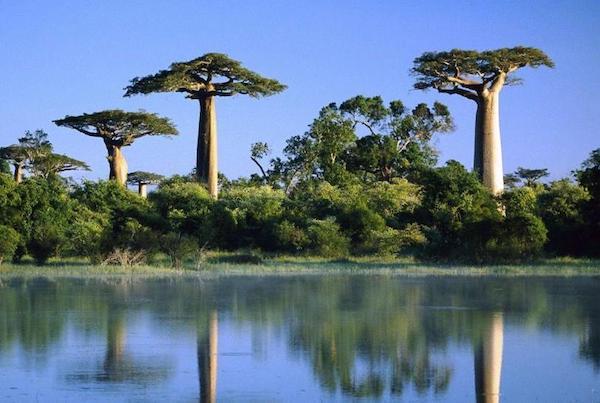 Majomkenyérfa Afrika szavannáin.