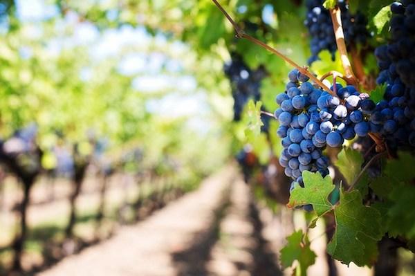 Szőlőtőkék egymás utáni sorban egy szőlőgazdaságban, előtérben egy fürt szőlő.