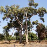 Óriás zizegőfa, amely senkit sem bánt, de bárkit meggyógyít