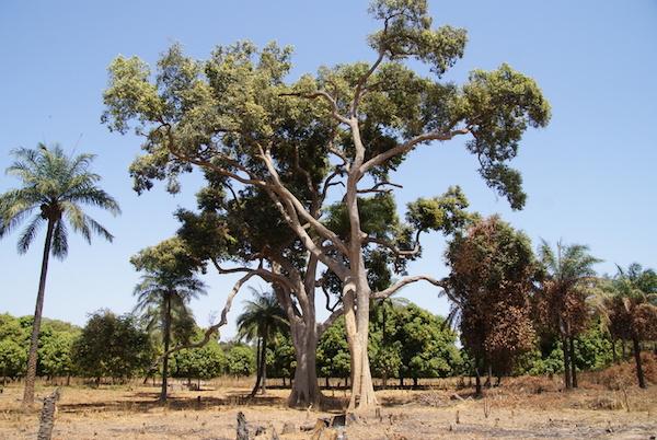 Az óriás zizegőfa latin neve Parinari excelsa.