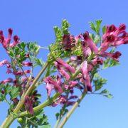 Orvosi füstike: az epe segítője