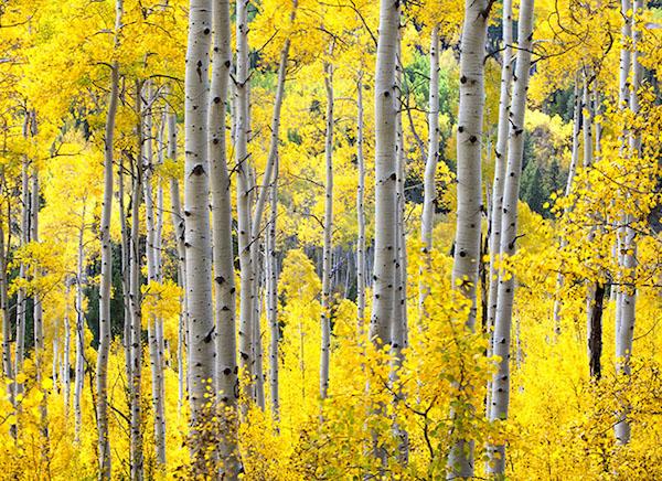 Gyönyörű őszi nyírfaerdő.