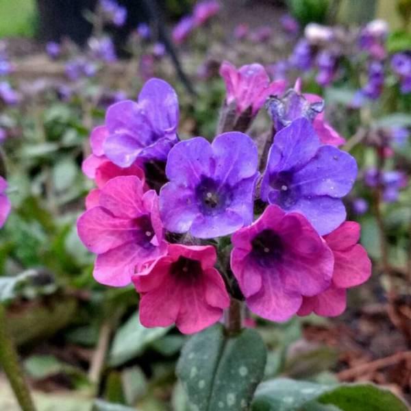 Orvosi tüdőfű (Pulmonaria officinalis) pettyezett leveleivel, élénk virágaival.
