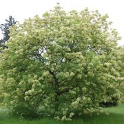 A virágos kőris kincse: mannitol