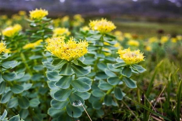 Rhodiola rosae vagy más néven rózsagyökér sárga virágai.