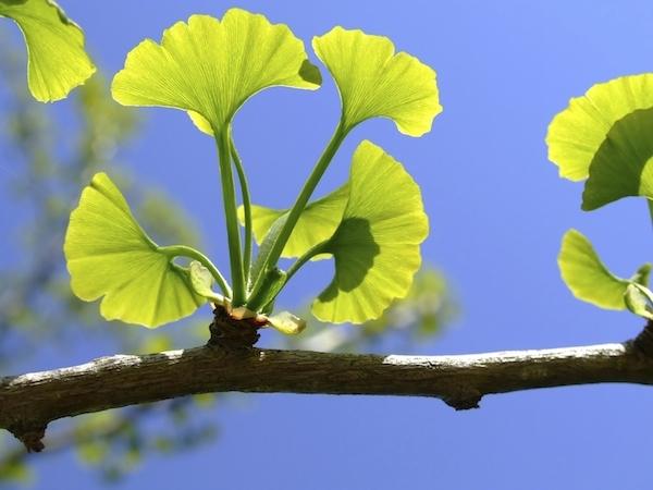 Ginkgo biloba levelei, melyeken átsüt a napfény.