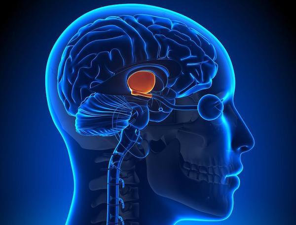 Hipotalamusz helye az emberi agyban.