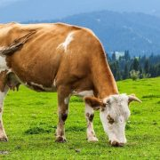 A füvet legelésző tehenek több omega-3-ban gazdag tejet termelnek