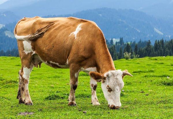 Füvet legel egy tehén a hegyek között.