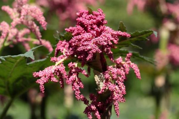 Tenyeres rebarbara bugaszerű virágzata.