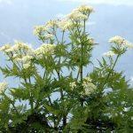 A sokoldalú gyógynövény: illatos mirhafű