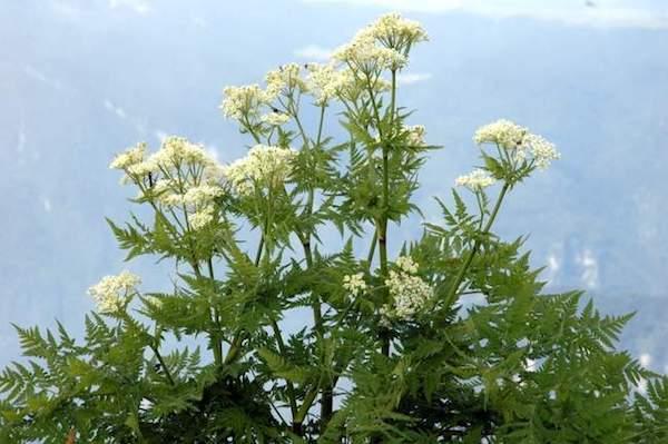 Illatos mirhafű (Myrrhis odorata) fehér, ernyőszerű virágzata.